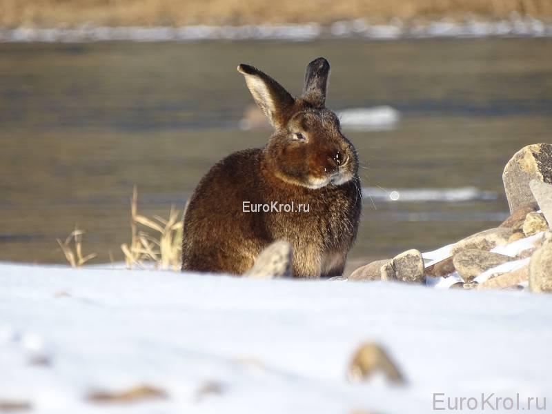 Сатиновые кролики кастор