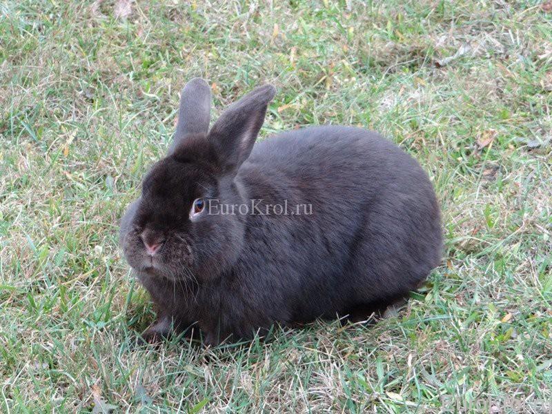 Сатиновый кролик гавана