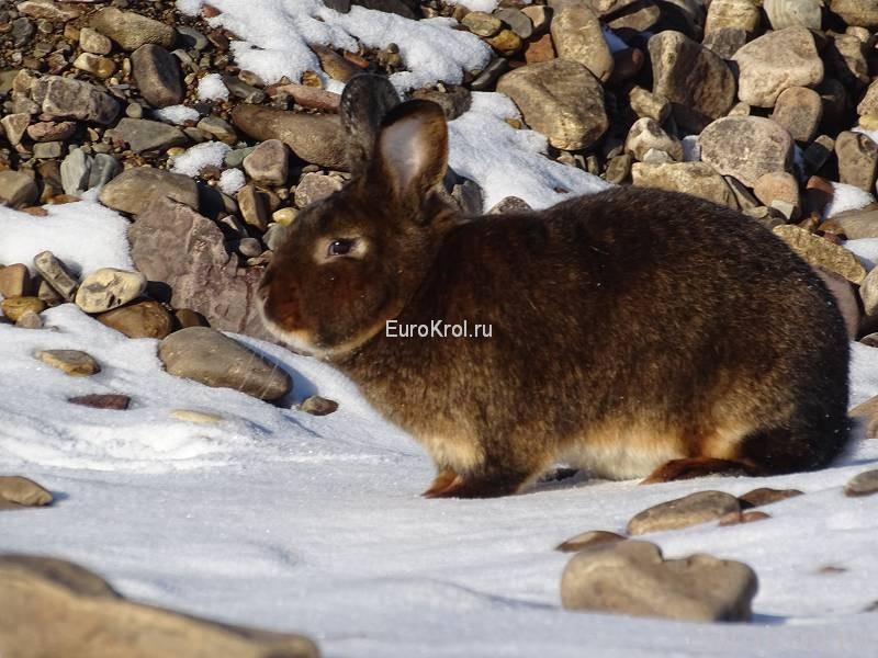 Сатиновый кролик окраса кастор