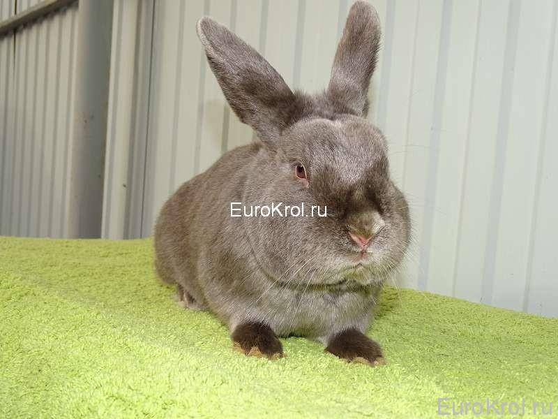 Сатиновый кролик окраса фех
