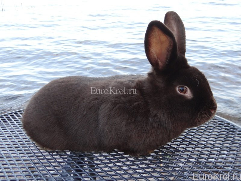 Сатиновый кролик - Satin-Havanna