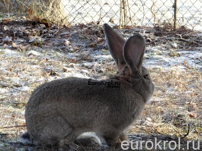 Кролики фландры из Голландии