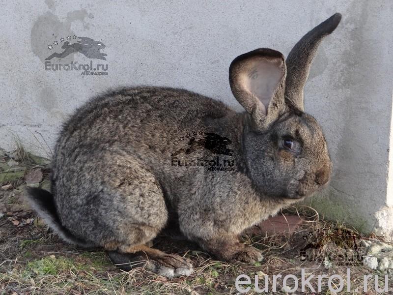 Кролики фламандский гигант из Голландии