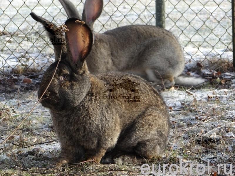 Кролики великаны фландры из Голландии