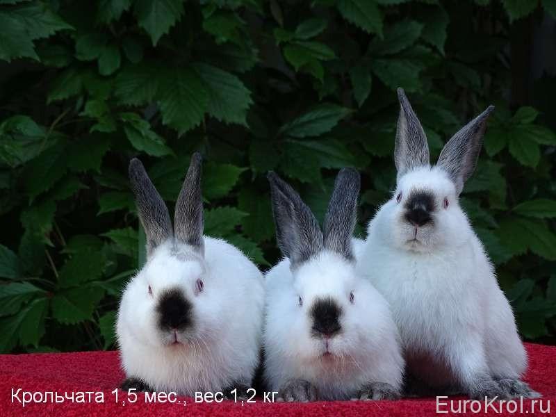Крольчата калифорнийцы летом
