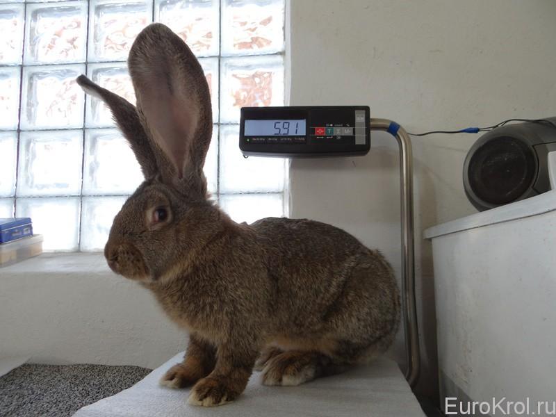 Кролики великаны вес по месяцам