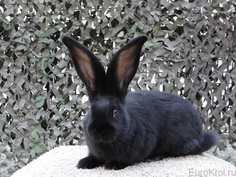Кролик Ризен чёрный