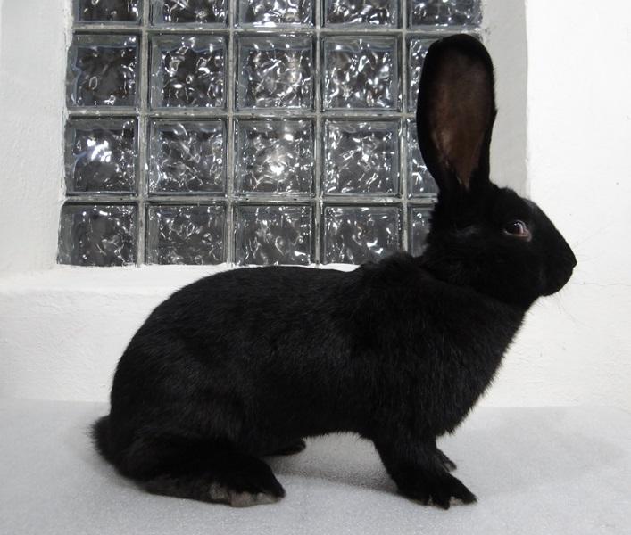 Кролик породы ризен (фландр)чёрного окраса
