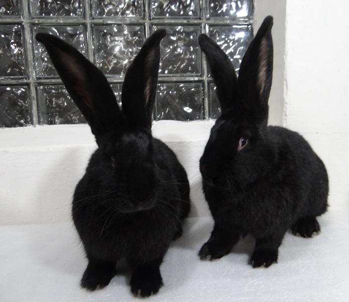 Кролик породы ризен (фландр)