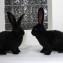 Кролик породы ризен (фландр). Окрас чёрный.