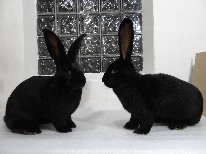 Кролик породы фландр окрас чёрный