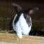 Голландский кролик гавана в Голландии