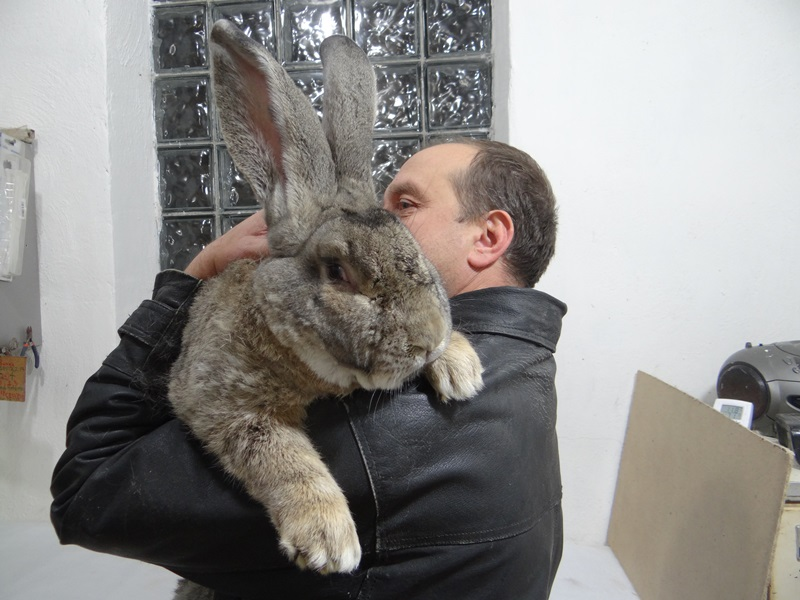 Кролик фландр, ризен.