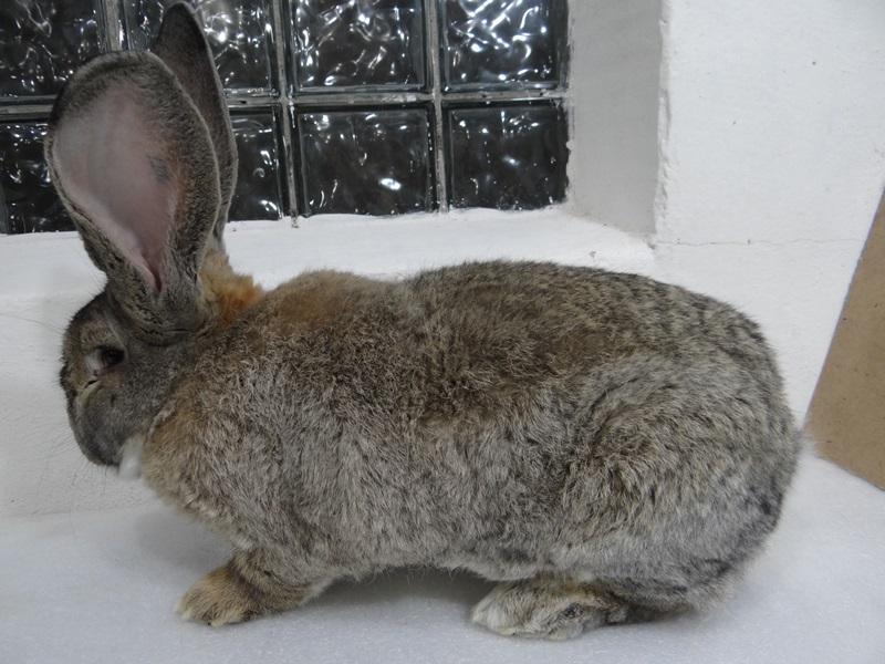 Кролики фландр, ризен.