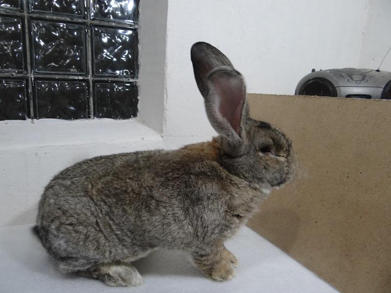 Кролик фландр, бельгийский великан