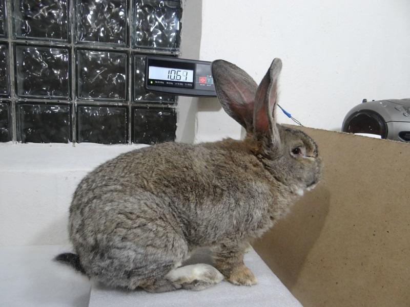 Кролик фландр, ризен, обр