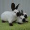 Три калифорнийских кролика