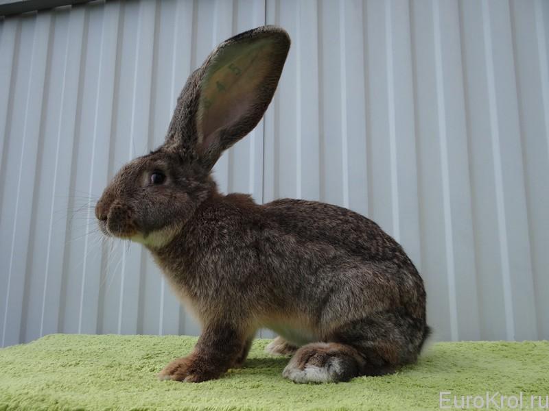 Кролики ризен фото 1