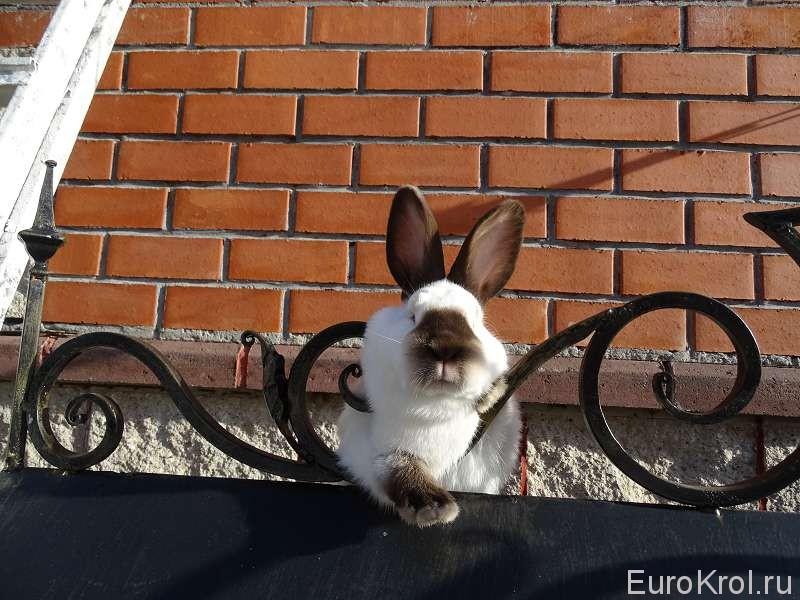 Калифорнийский кролик окраса гавана на ковке