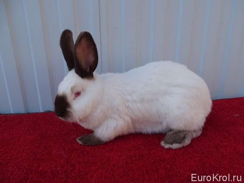 Калифорнийский кролик гавана на красной подстилке