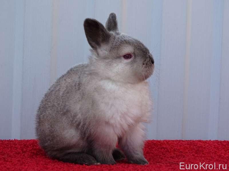 Калифорнийский кролик с серым налётом