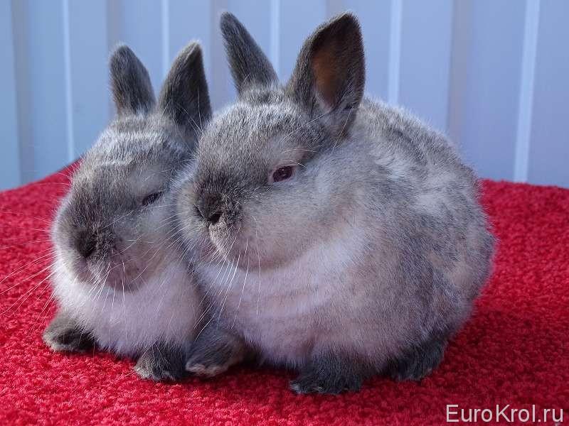 Калифорнийские крольчата с серым налётом