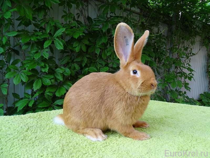 бургундский кролик у забора