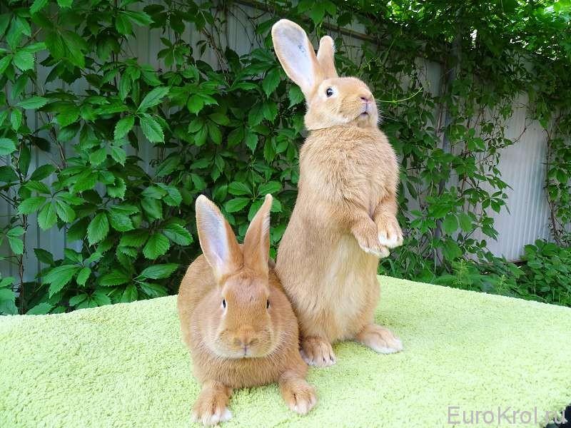 Крольчата вес 2500