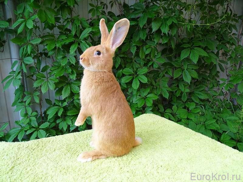 Кролик бургундский 2,5 мес., вес 2800