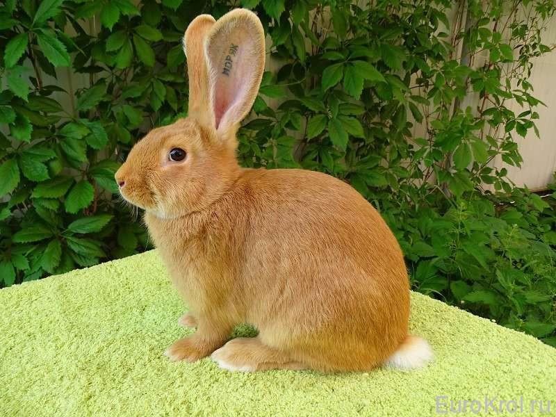 Бургундский кролик в зелени
