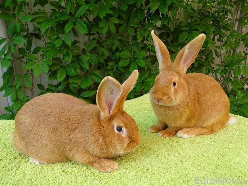 Крольчата возраст 2,5 месяца, вес 2800