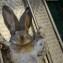 Операция у кролика породы ризен