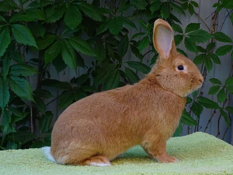 Бургундский кролик взрослый