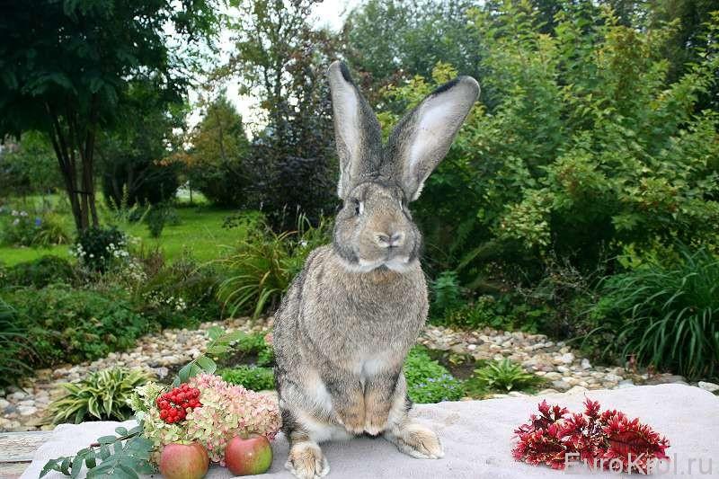 Крольчиха Фландр из Германии для Маргариты
