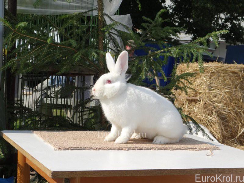 Кролик сатин белый
