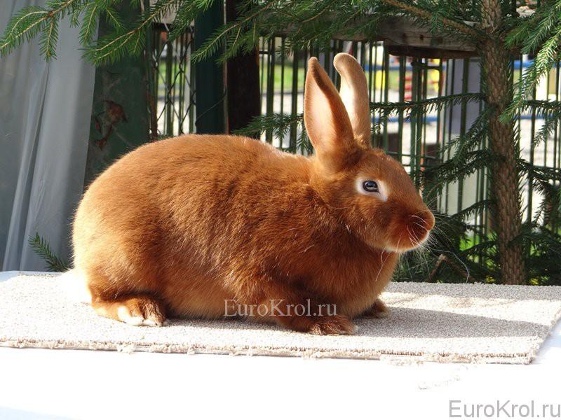 Сатиновый красный кролик