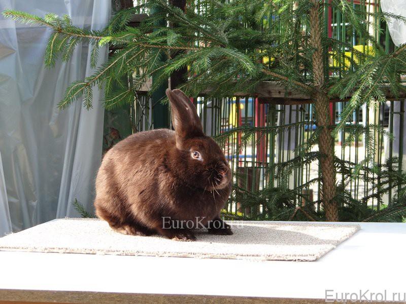 Сатиновый гавана кролик