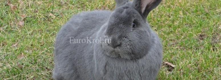 Кролик Moravský modrý