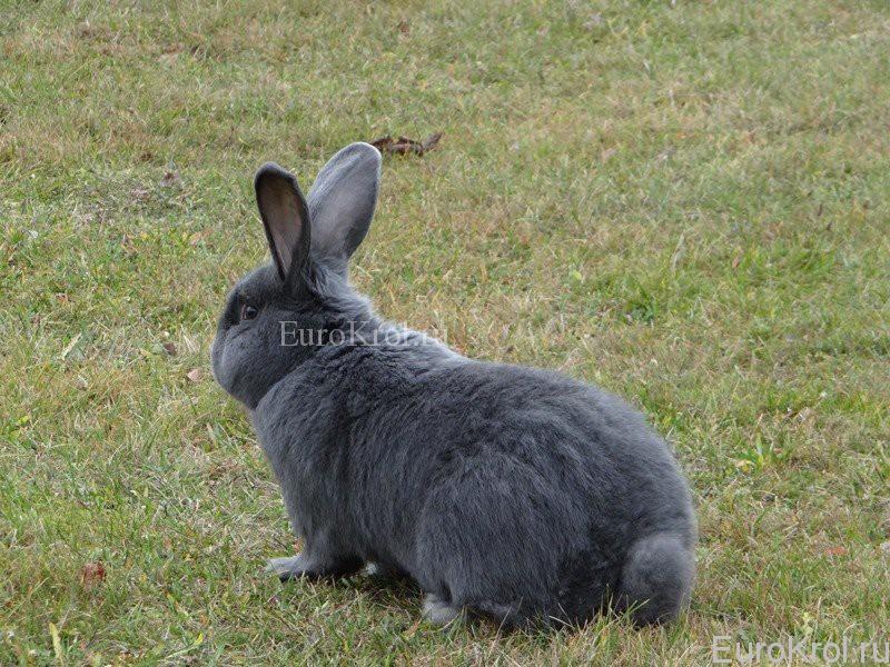 Моравский голубой кролик