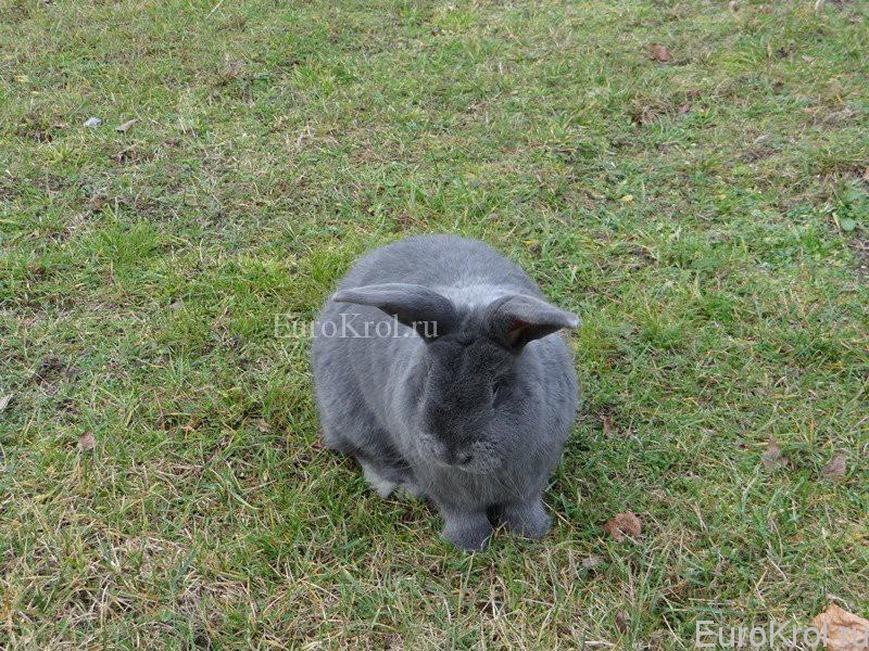 Порода кролика Moravský modrý