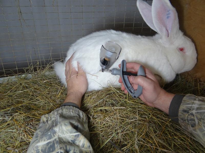 Ваксенація від геморогічної хвороби кролів