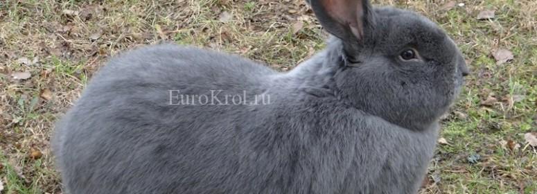 Králik moravský modrý - моравский голубой