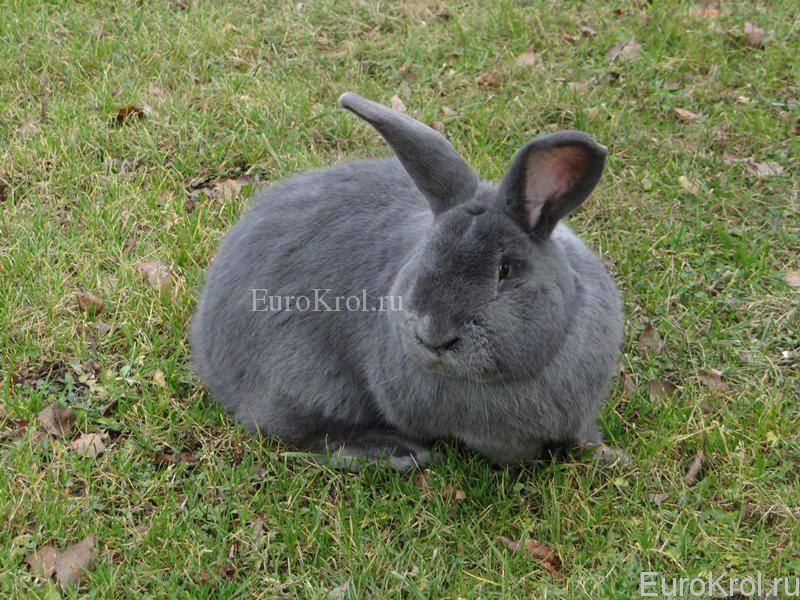 Králik moravský modrý - моравский кролик