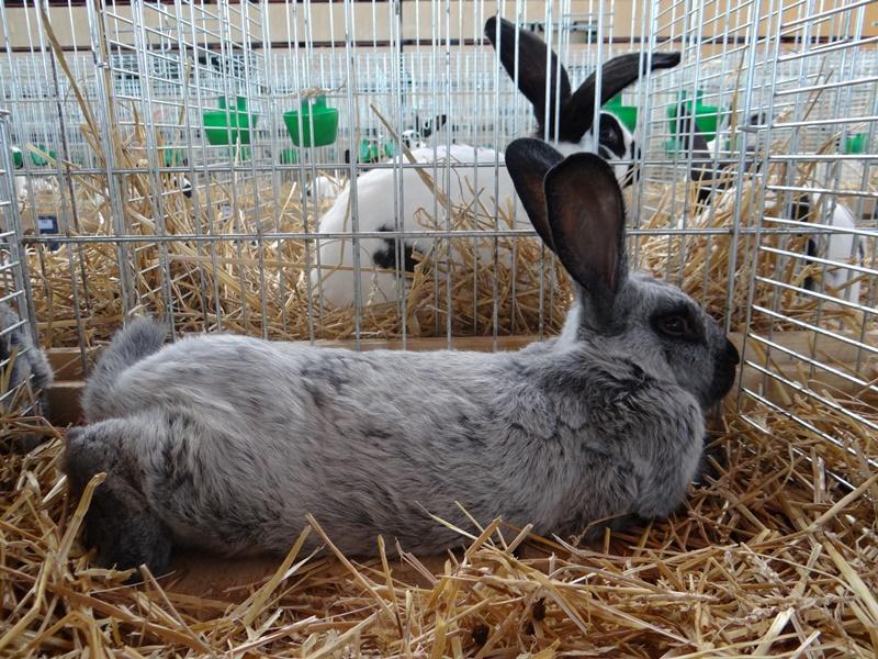 Кролики породы шампань