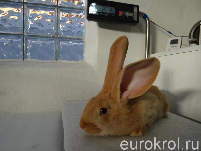 Клеймение кроликов