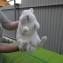 Определение пола кроликов