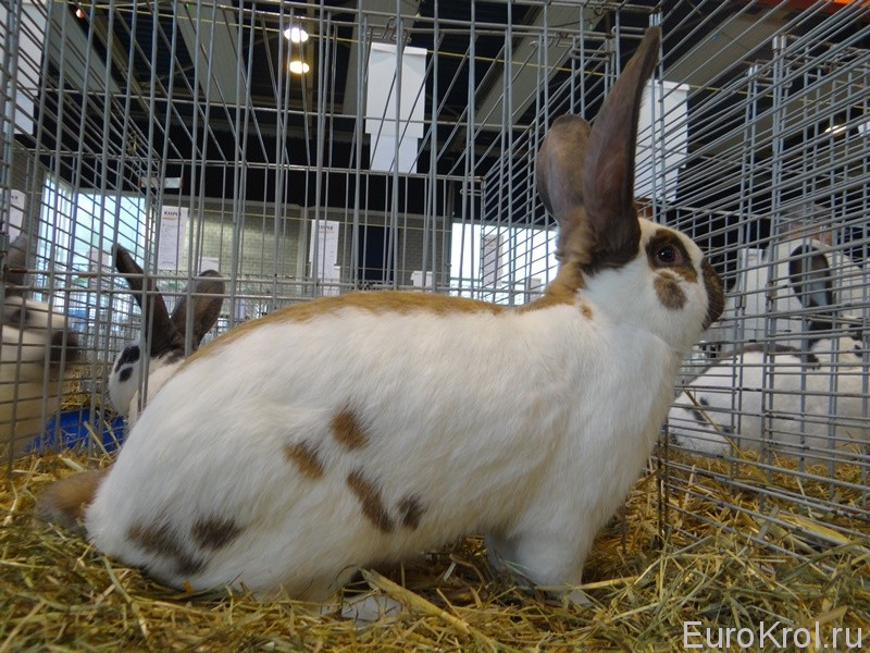 Кролик немецкий пёстрый великан