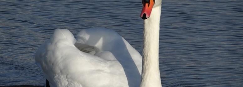Лебедь фленсбургского залива