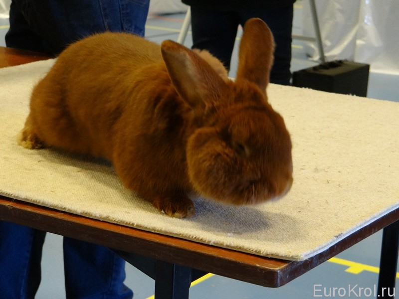 Европейская выставка кроликов