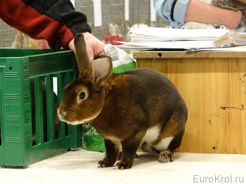 Кролики рексы на выставке в Дании